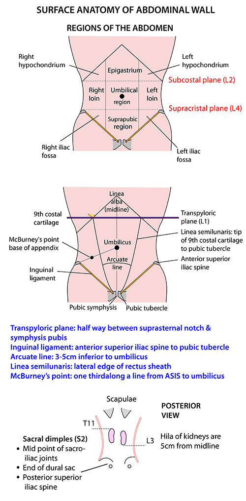 Instant Anatomy - Abdomen - Surface - Abdominal wall