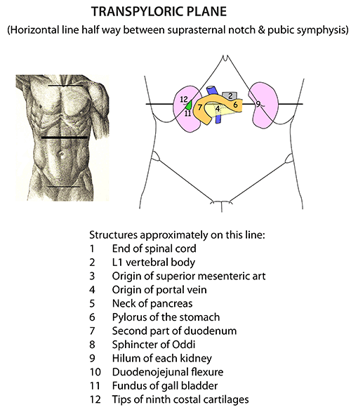 Instant Anatomy Abdomen Surface Transpyloric Plane