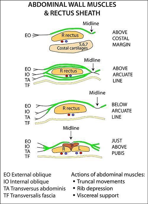 Rectus sheath anatomy