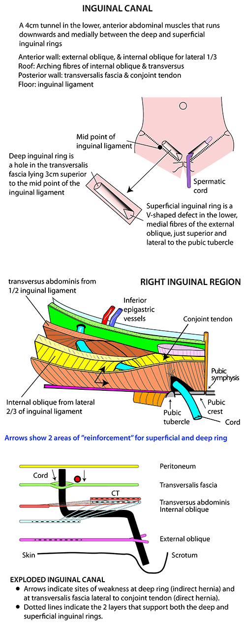 Similiar Inguinal Area Anatomy Keywords