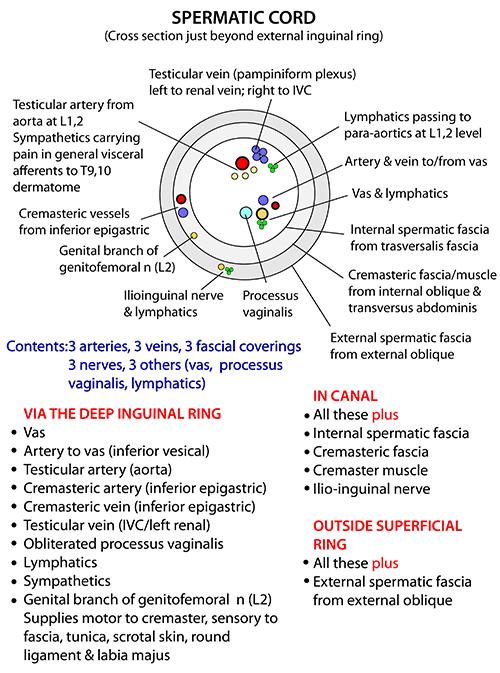 Instant Anatomy - Abdomen - Areas/Organs - Inguinal region ...