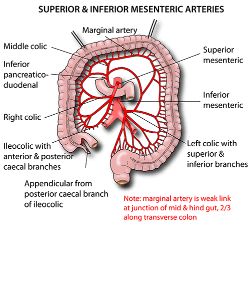 instant anatomy - abdomen - vessels - arteries - superior mesenteric, Human Body