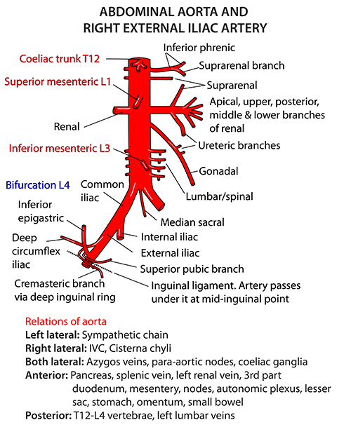 instant anatomy - abdomen - vessels - arteries - abdominal aorta, Human Body