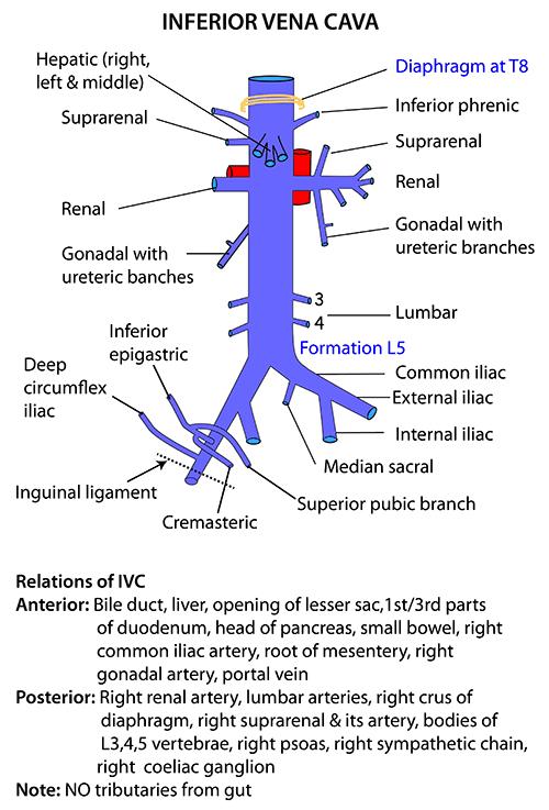 Instant anatomy abdomen vessels veins inferior vena cava ccuart Image collections