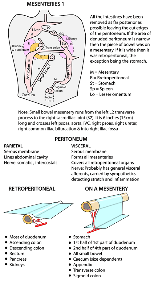 Instant Anatomy - Abdomen - Areas/Organs - Peritoneum - Lesser sac ...