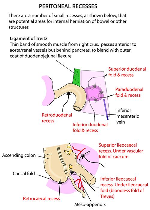 Instant Anatomy - Abdomen - Areas/Organs - Peritoneum ...