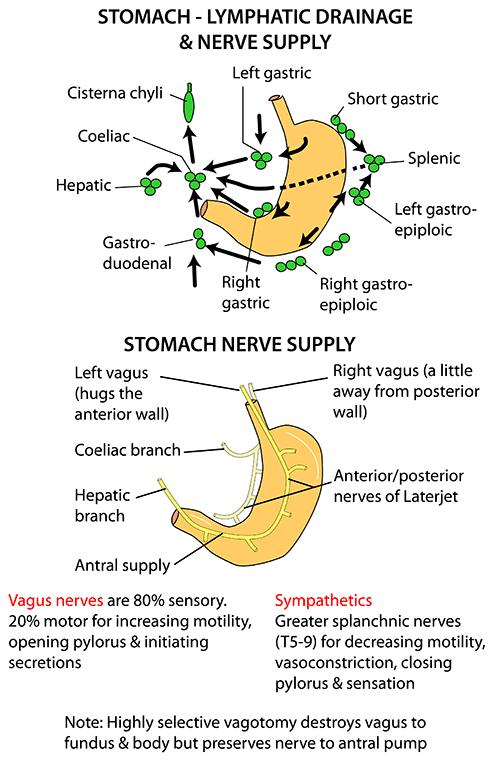 Instant Anatomy - Abdomen - Areas/Organs - Bowel - Stomach ...