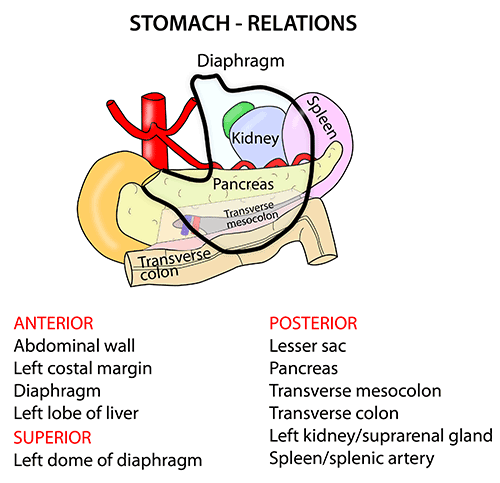 Instant Anatomy - Abdomen - Areas/Organs - Bowel - Relations of stomach