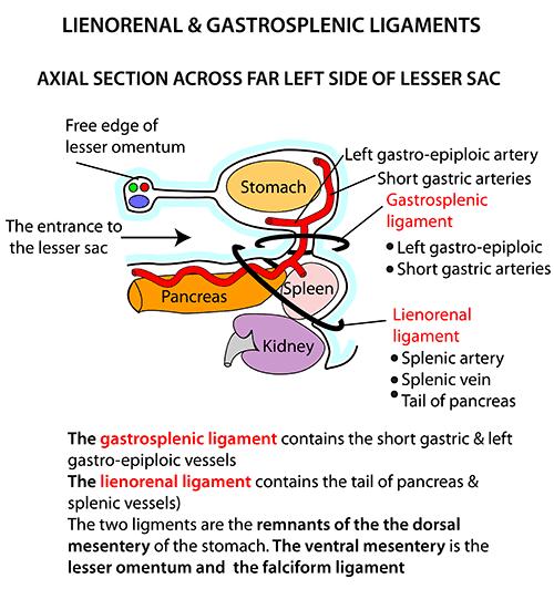 gastrosplenic ligament - photo #7