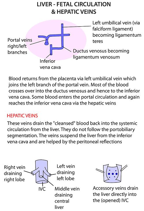 Instant Anatomy - Abdomen - Vessels - Veins - Hepatic veins