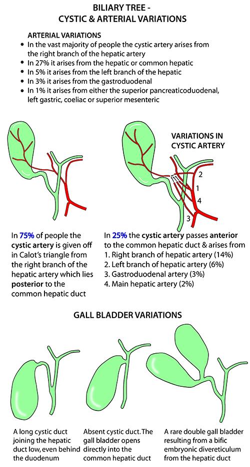 instant anatomy - abdomen - areas/organs - biliary system - gall, Human body