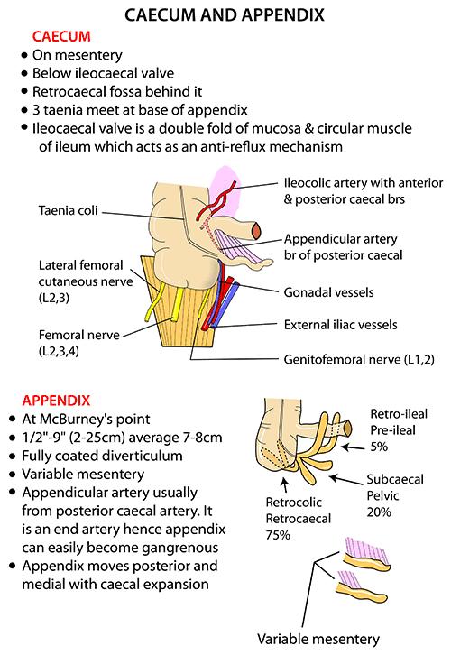 Anatomy of the appendix
