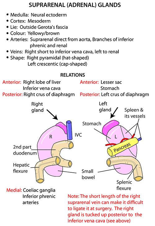 Instant Anatomy - Abdomen - Areas/Organs - Suprarenal (adrenal) glands