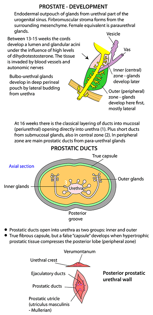 Instant Anatomy - Abdomen - Areas/Organs - Urinary tract - Prostate ...