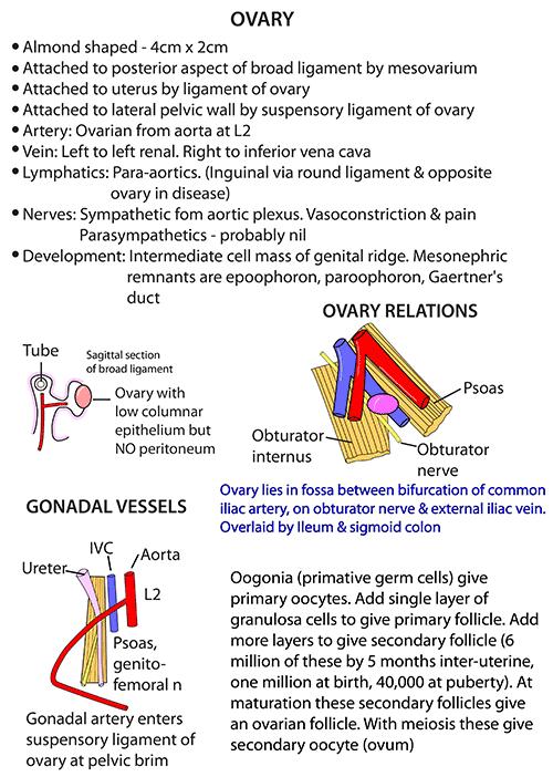 Instant Anatomy - Abdomen - Vessels - Veins - Ovarian veins