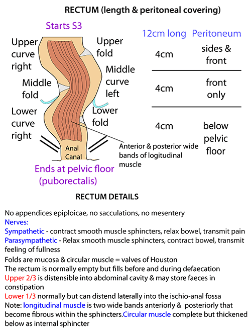 instant anatomy abdomen areas organs bowel rectum. Black Bedroom Furniture Sets. Home Design Ideas