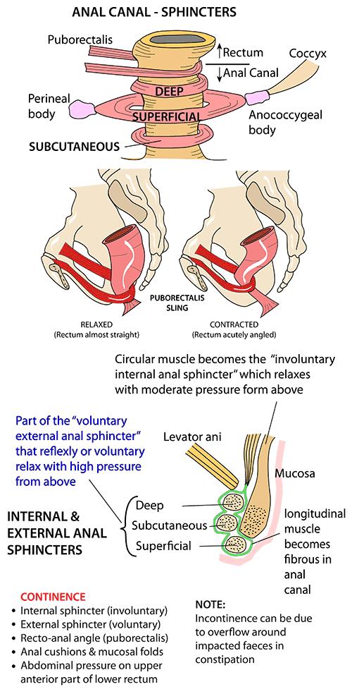 Instant Anatomy Abdomen Areasorgans Bowel Sphincters