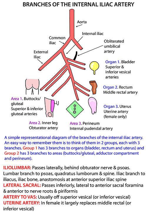 Instant Anatomy Abdomen Vessels Arteries Internal Iliac