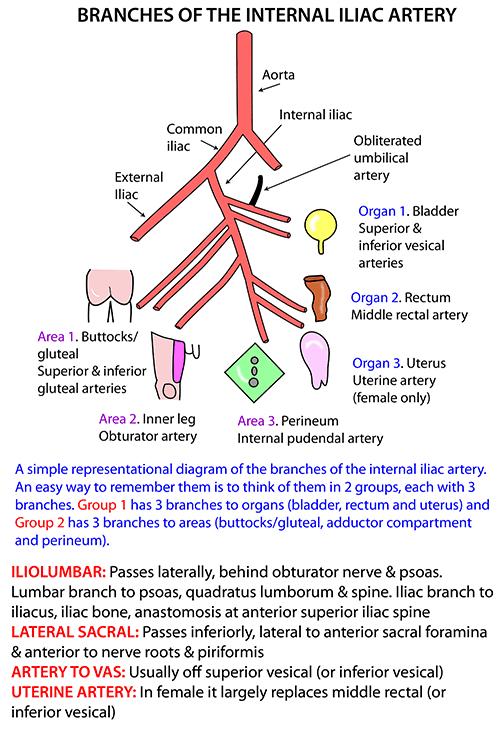 Instant Anatomy Abdomen Vessels Arteries Pelvic Organs