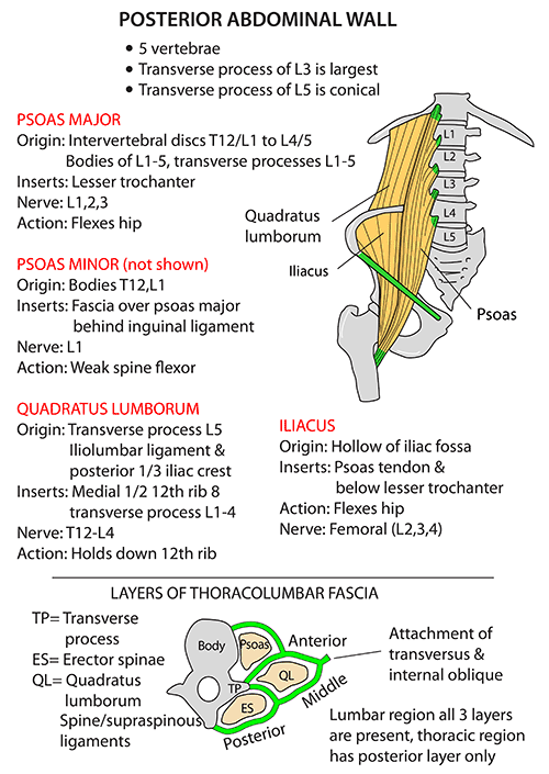 Instant Anatomy Abdomen Areasorgans Abdominal Wall
