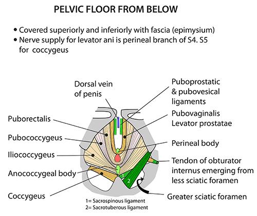 Instant Anatomy Abdomen Areasorgans Pelvis Pelvic Floor