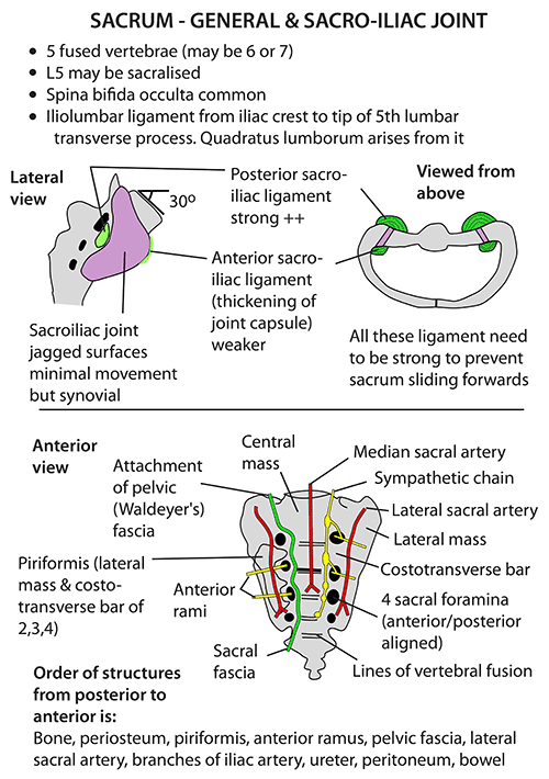 Instant Anatomy - Abdomen - Areas/Organs - Sacrum - General ...