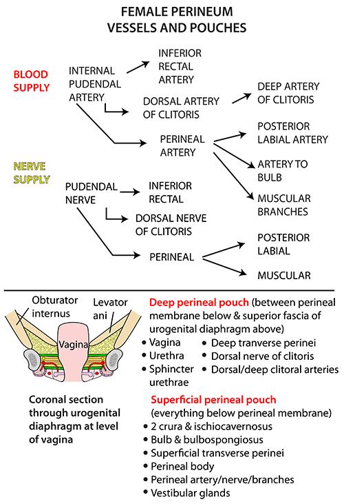 Instant Anatomy - Abdomen - Areas/Organs - Perineum - Blood & nerve ...