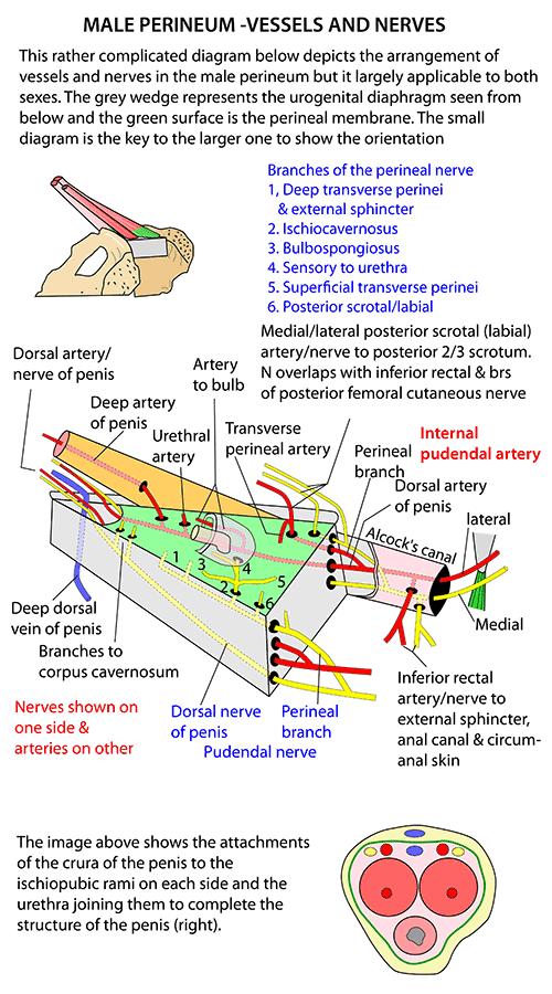Instant Anatomy - Abdomen - Vessels - Arteries - Perineum