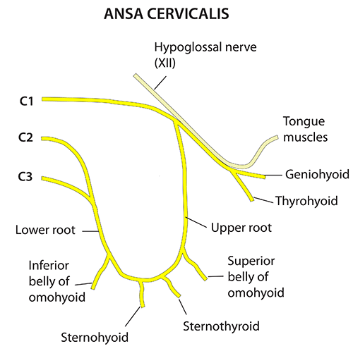 Instant Anatomy - Head and Neck - Nerves - Somatic nerves - Ansa ...