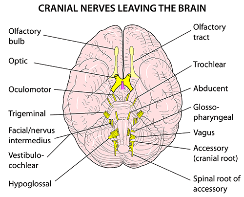 Instant Anatomy Head And Neck Nerves Cranial Emerging From