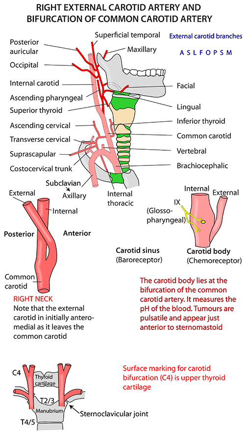 Instant Anatomy - Head and Neck - Vessels - Arteries - External ...