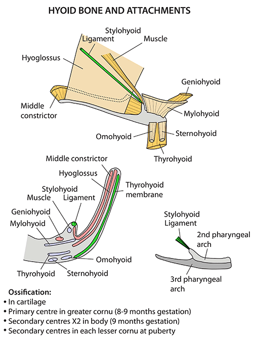 Instant Anatomy - Head and Neck - Areas Organs - Hyoid bone and