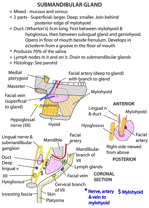 Instant Anatomy - Head and Neck - Areas/Organs - Salivary glands ...