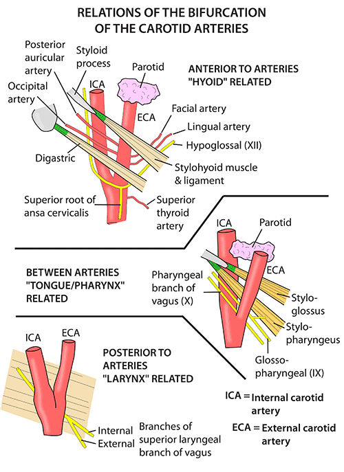 Instant Anatomy - Head and Neck - Vessels - Arteries - Common ...
