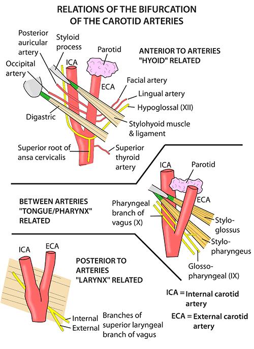 Instant Anatomy - Head and Neck - Vessels - Arteries - Internal ...