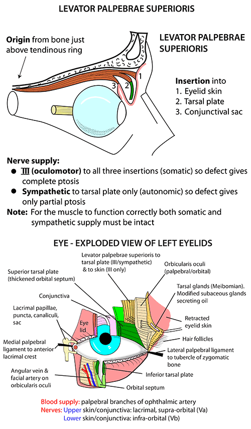 instant anatomy - head and neck - areas/organs - eye & orbit, Human Body