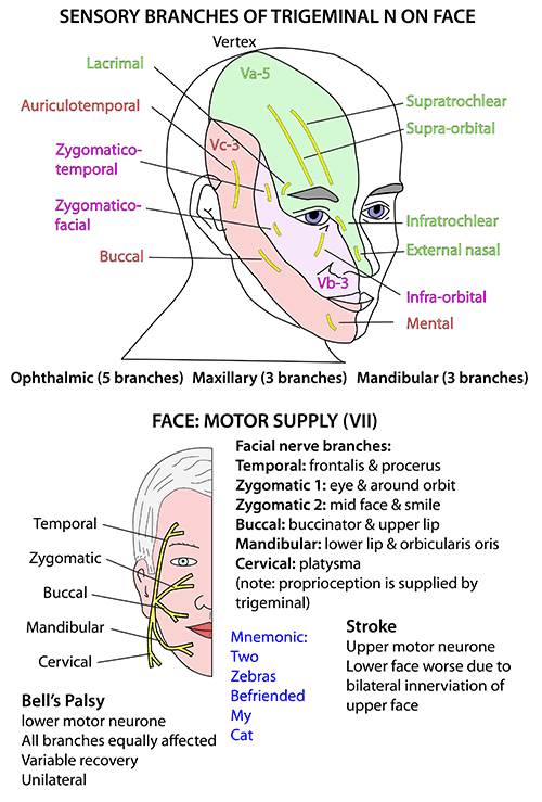 Instant Anatomy - Head and Neck - Nerves - Cranial - VII supplying face