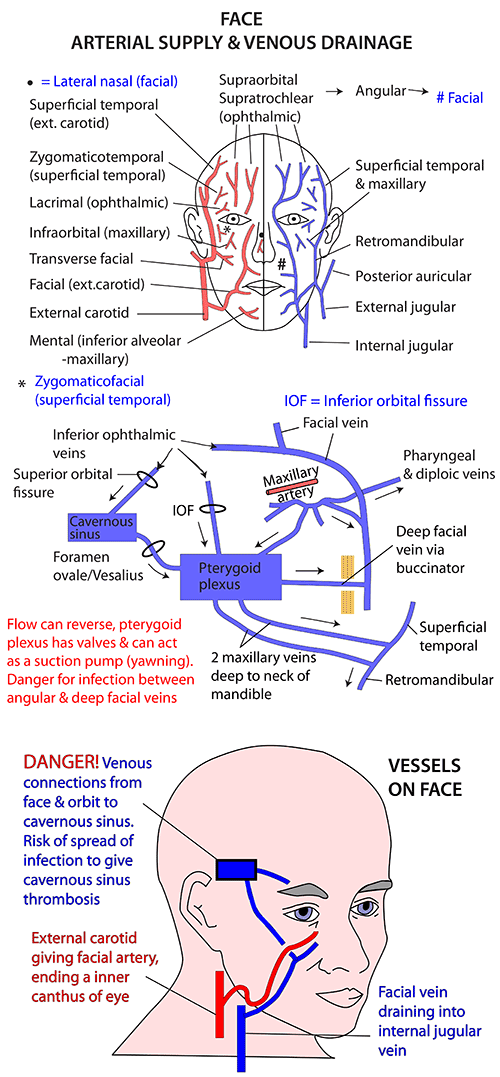 Arterial Supply and Venous Drainage of Face