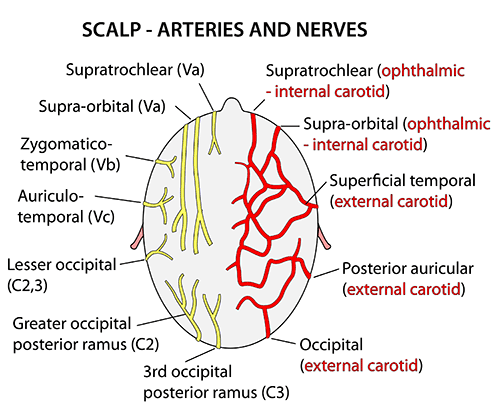 Image result for nerves and vessels of scalp