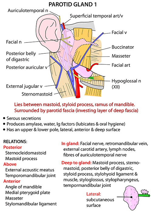 Instant Anatomy - Head and Neck - Areas/Organs - Parotid region ...