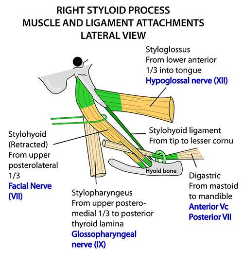 Anatomy veins and arteries