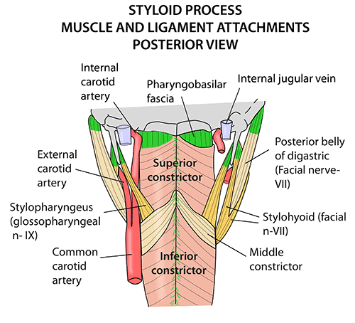 Instant Anatomy Head And Neck Areasorgans Styloid Process