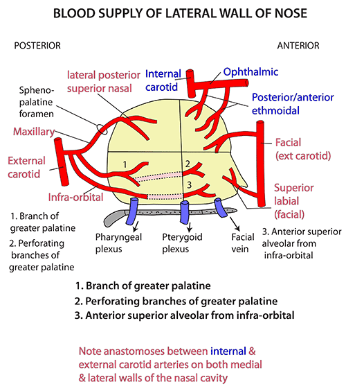 Instant Anatomy Head And Neck Areasorgans Nose Lateral Wall