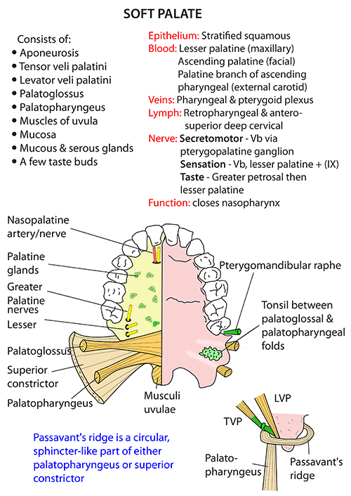 Instant Anatomy - Head and Neck - Areas/Organs - Mouth ...