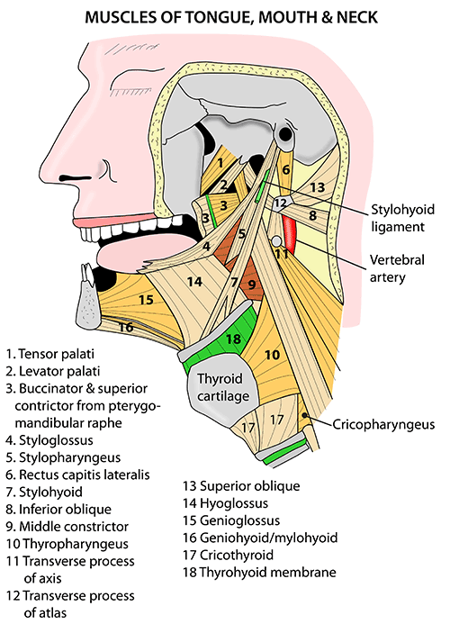 Instant Anatomy - Head and Neck - Areas/Organs - Mouth - Muscles