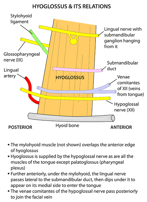 Instant Anatomy Head And Neck Areasorgans Hyoglossus And Its