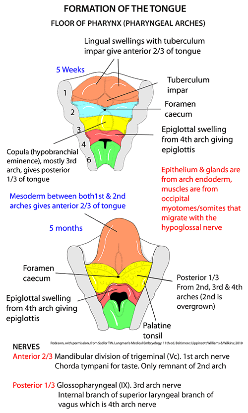Instant Anatomy - Head and Neck - Areas/Organs - Mouth - Tongue ...