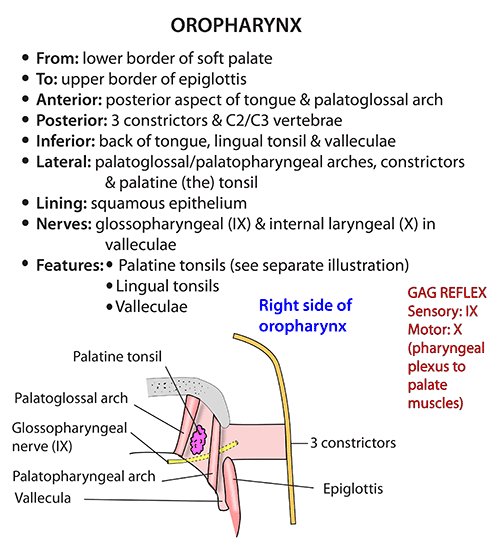 Instant Anatomy - Head and Neck - Areas/Organs - Pharynx - Oropharynx