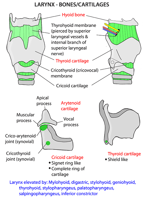 Instant anatomy head and neck areasorgans larynx bones and instant anatomy head and neck areasorgans larynx bones and cartilages ccuart Gallery