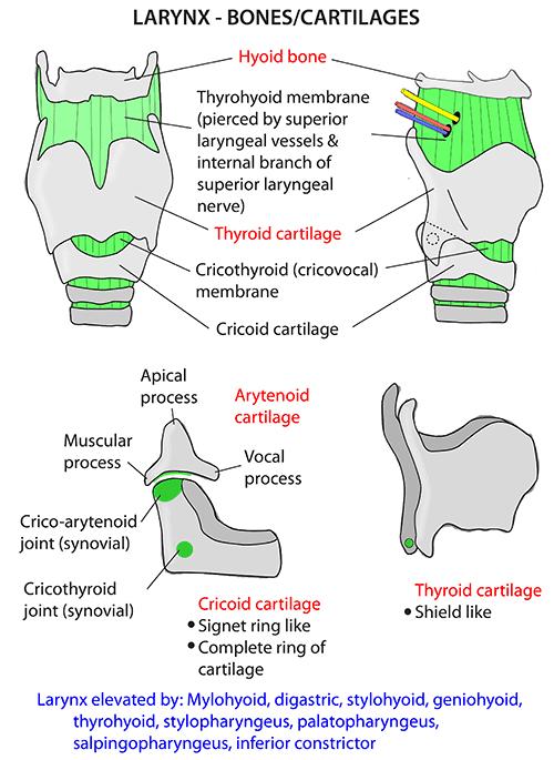 Instant Anatomy Head And Neck Areasorgans Larynx Bones And